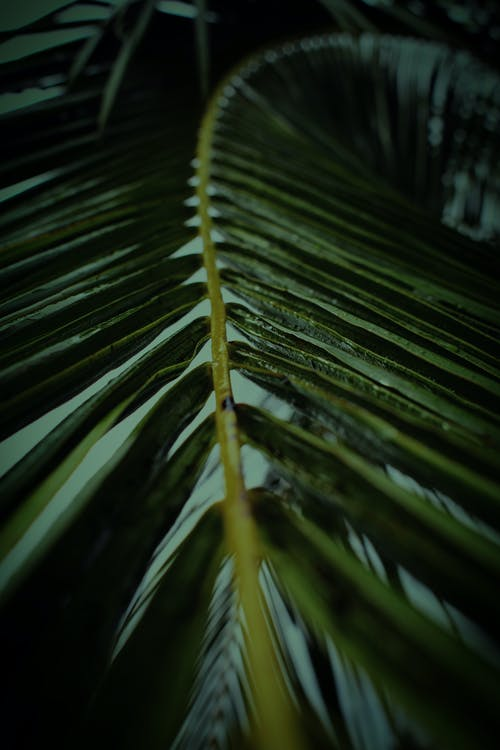 Texture of palm tree green leaf