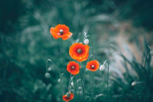 Red poppy flowering plant in garden