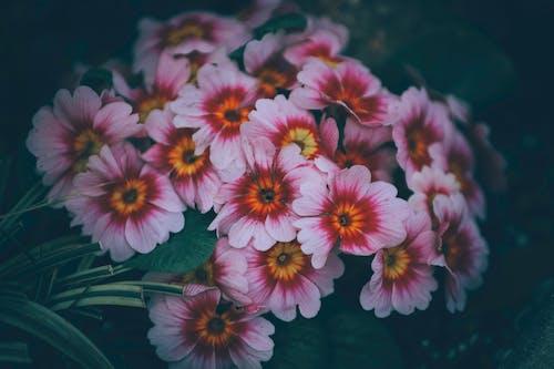 Blooming delicate colorful Primula vulgaris flowers