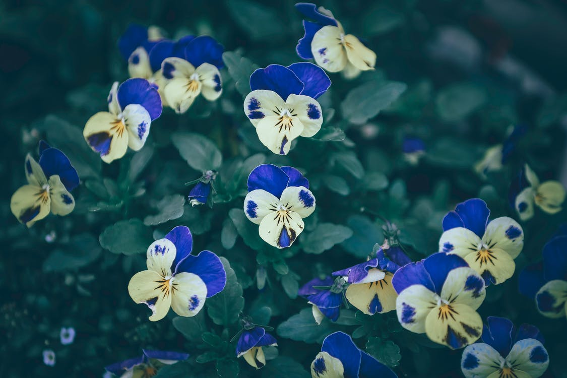 From above of small delicate horned pansy flowers with vivid yellow and purple petals in lush green garden