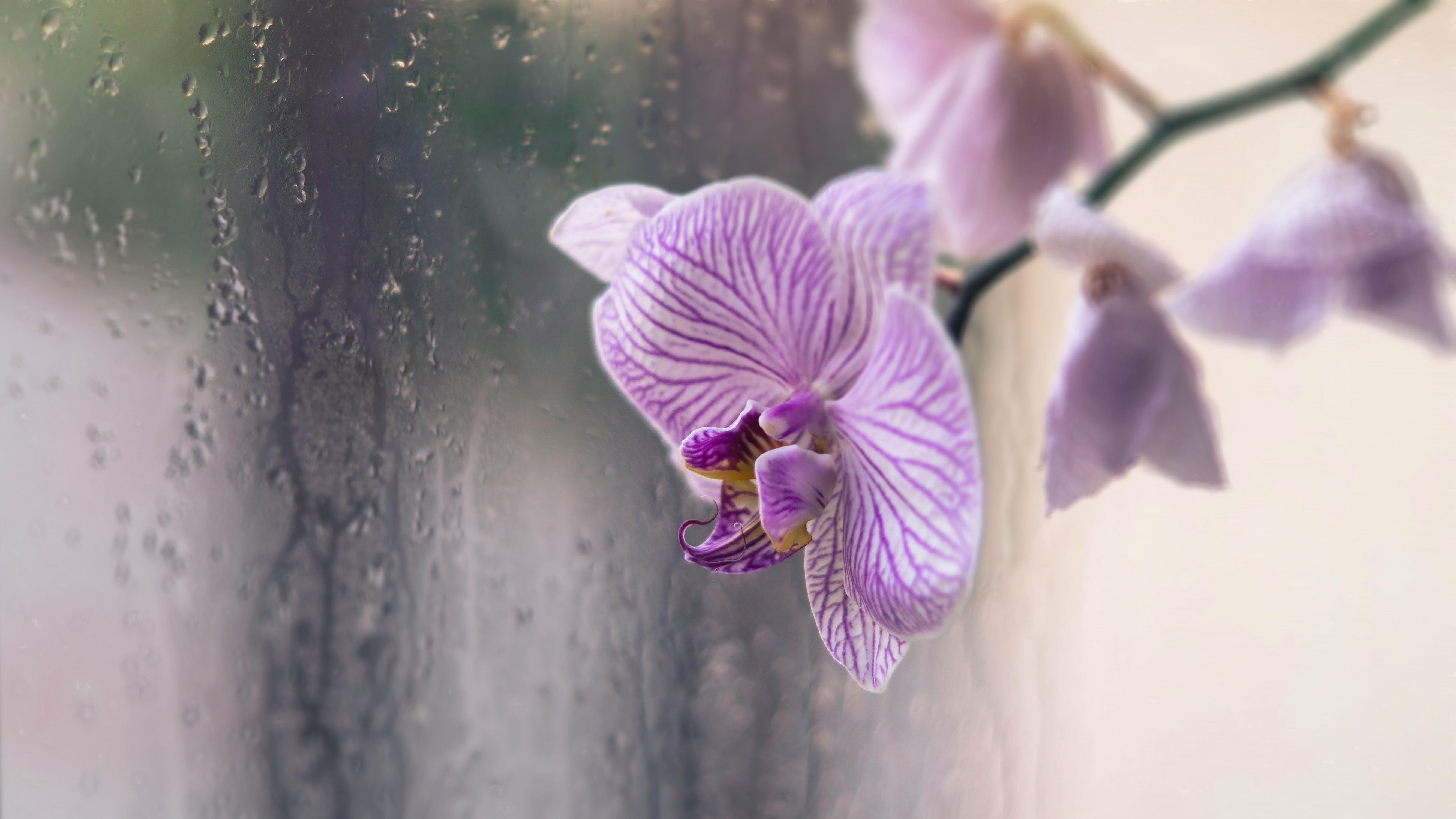 Free stock photo of Цветок, капли, орхидея