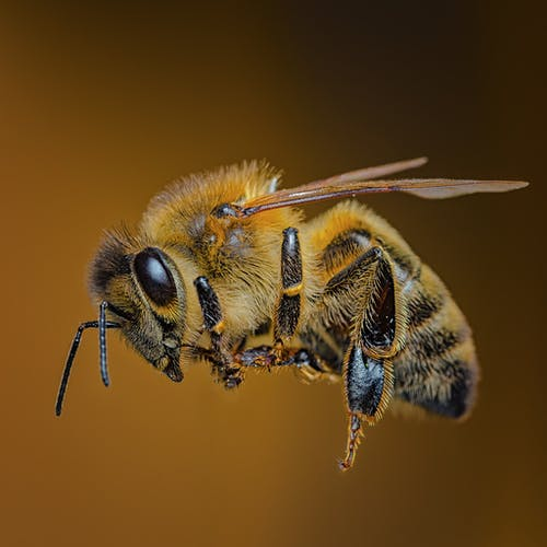 Close-Up Photo Of Bee