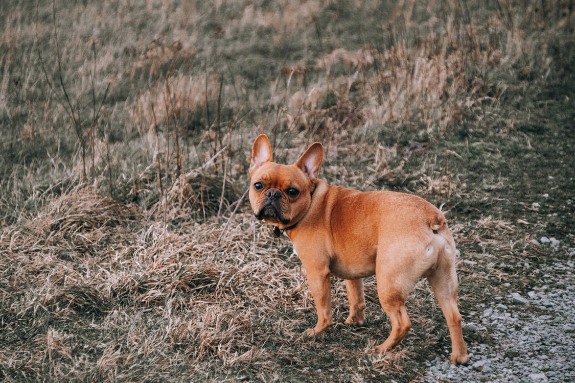 Brown Short Coated Dog on Brown Grass Field