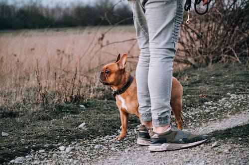 アメリカのいじめっ子, かわいい犬, かわいらしいの無料の写真素材