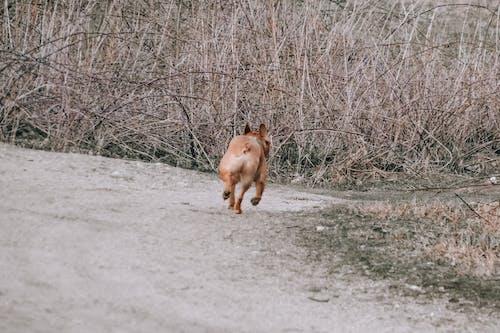 Free stock photo of baby dog, brown dog, brown pug