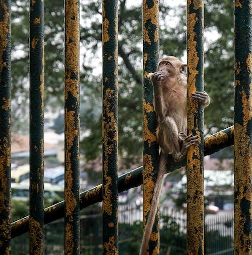 Monkey on Metal Rusty Fence