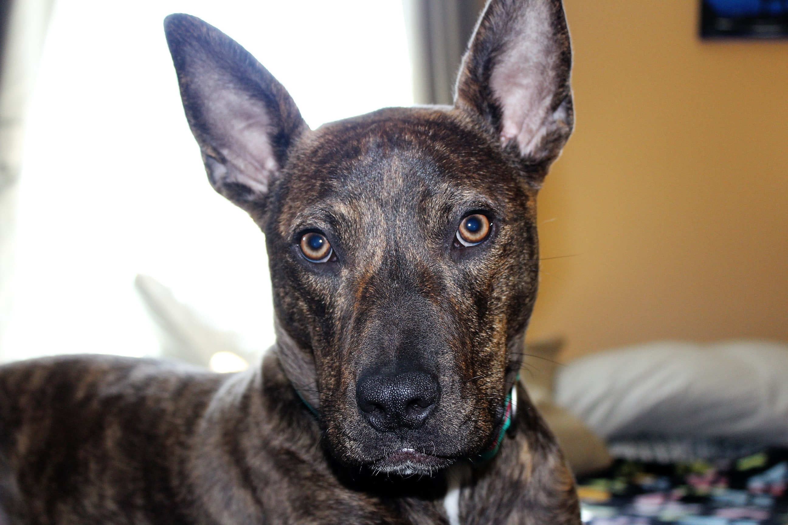 free stock photo of pitbull pitbull mix rescue dog
