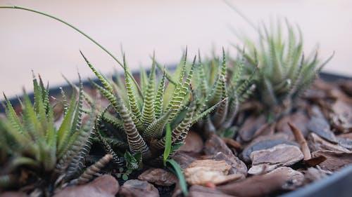 Бесплатное стоковое фото с haworthia fasciata, Биология, ботаника