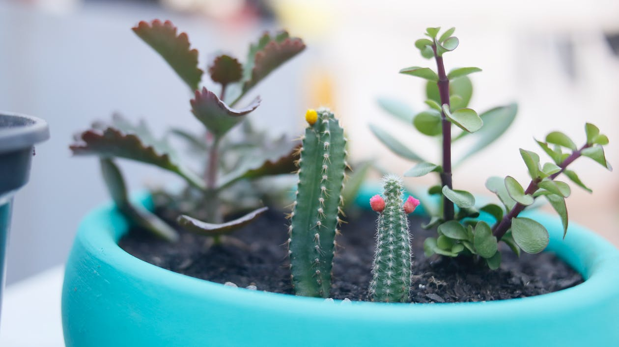 Green Cactus in Blue Pot