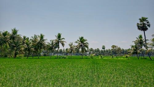 Darmowe zdjęcie z galerii z drzewo kokosowe, godavari, pola trawy