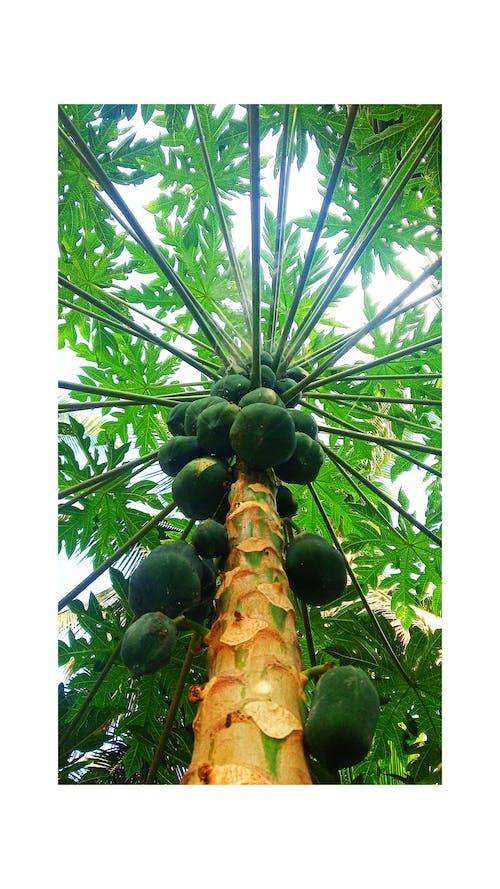 Darmowe zdjęcie z galerii z papaja
