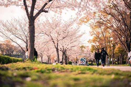 Ingyenes stockfotó ág, cseresznye, cseresznyevirág, esés témában