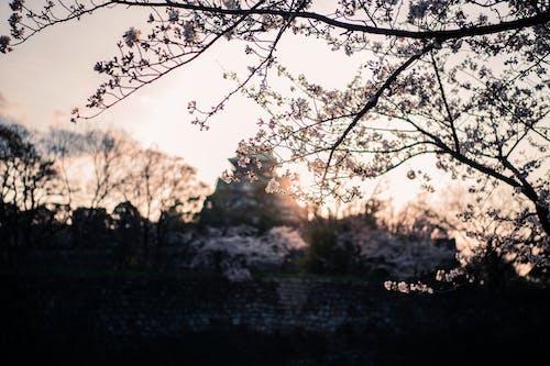 Ingyenes stockfotó cseresznyevirág, osaka vár, Oszaka, rugó témában