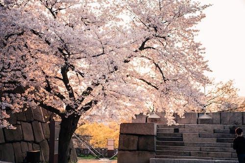 White Cherry Blossom Tree Near Brown Concrete Building