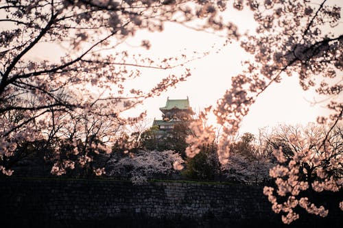White Cherry Blossom Tree Near Osaka Castle
