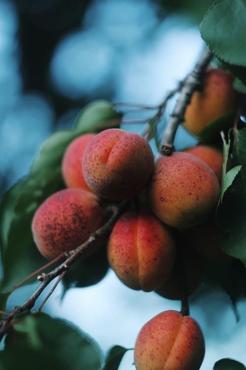 Kostnadsfri bild av aprikos, färsk, gren, hälsa