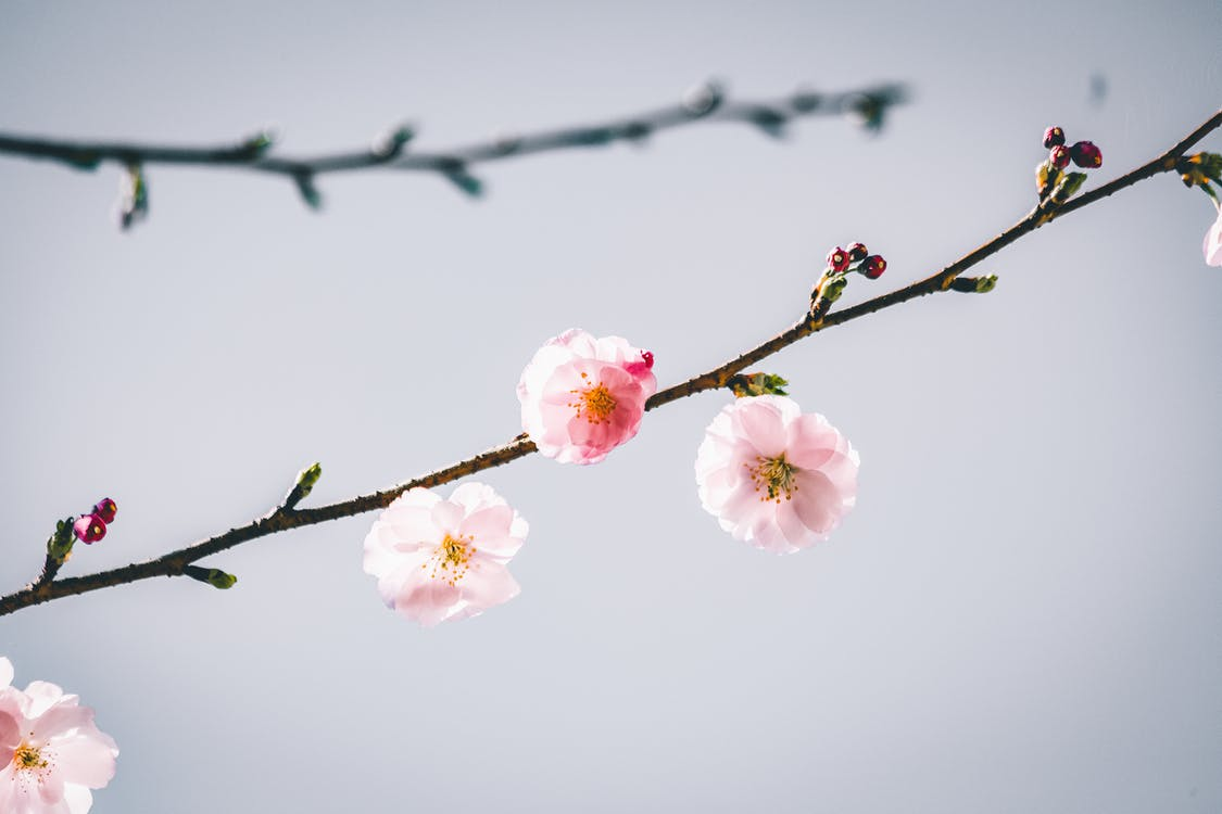 Small Cherry Blossom Flowers in Close-Up Photography
