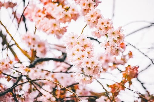 Close-Up Photo of Delicate Cherry Blossom Flowers