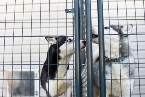 Low angle of adorable Husky dogs in collar standing in cage in animal shelter
