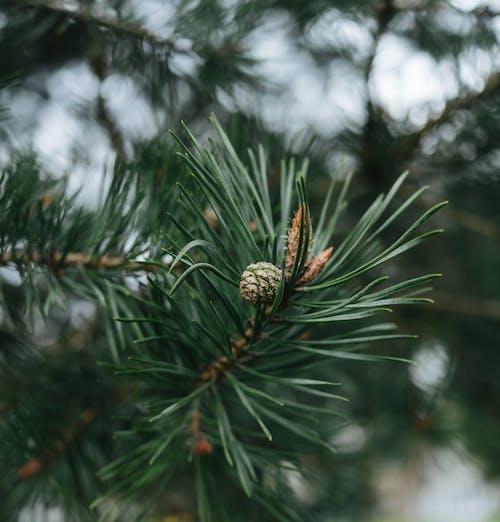 Бесплатное стоковое фото с ветвь, вечнозеленый, декорация, ель