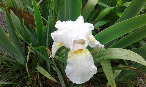 Free stock photo of beautiful flowers, gladiolas, raindrops