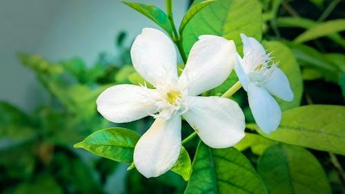 Ilmainen kuvapankkikuva tunnisteilla kukka, makro, puutarha, valkoinen