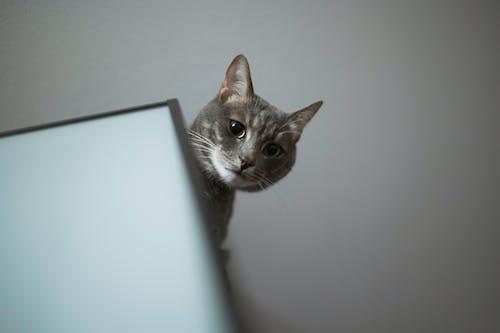 Photos gratuites de à la maison, animal, animaux et animaux domestiques, chat