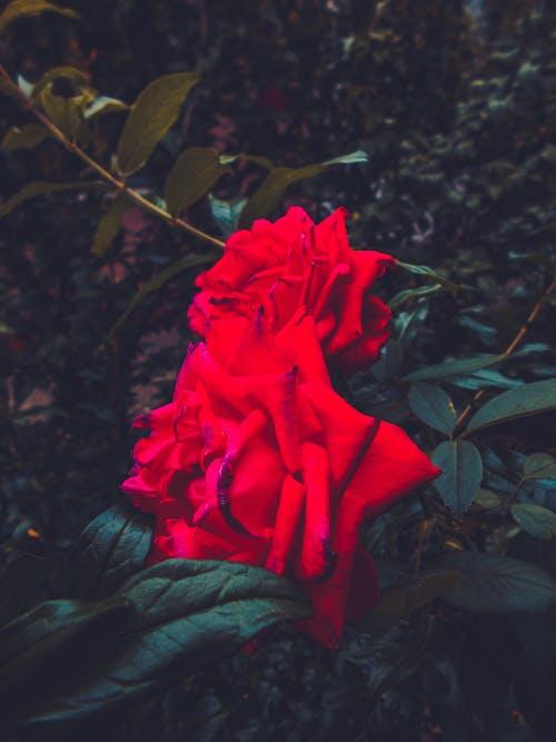 Free stock photo of #dark, #flower, #flowerphotography, #flowers