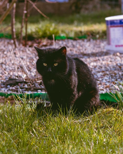 Black Cat on Green Grass