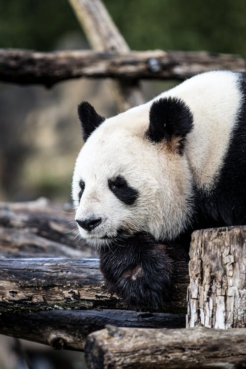 White and Black Panda on Brown Tree Trunk