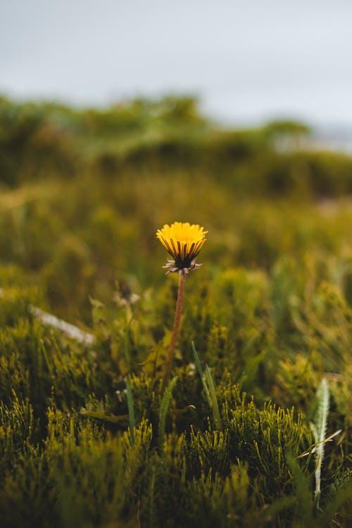 Dandelion growing in green field