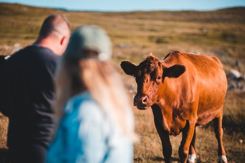 Brown cow walking in field towards anonymous man and woman on sunny day in nature