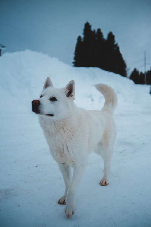White Dog on Snow Covered Ground