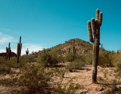 Green Saguaro Cactus on Brown Field