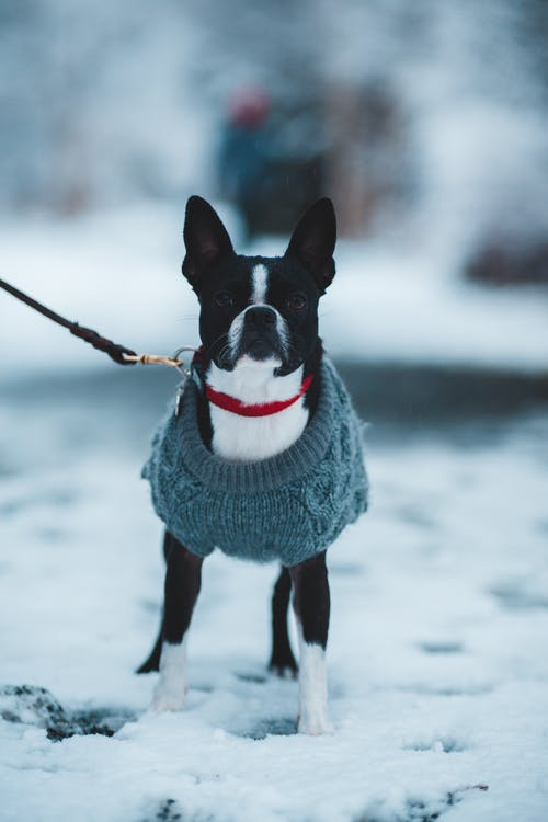 Black and White Short Coated Dog Wearing Blue Sweater on Snow Covered Ground