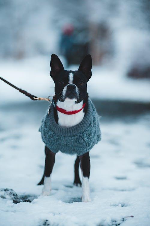 Kostenloses Stock Foto zu bezaubernd, boston-terrier, draußen, einfrieren