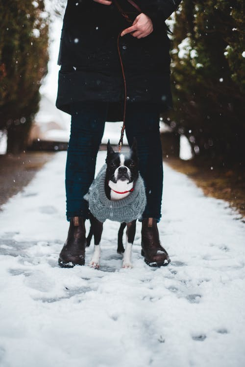 Person in Black Coat Carrying Black and White Boston Terrier on Snow Covered Ground