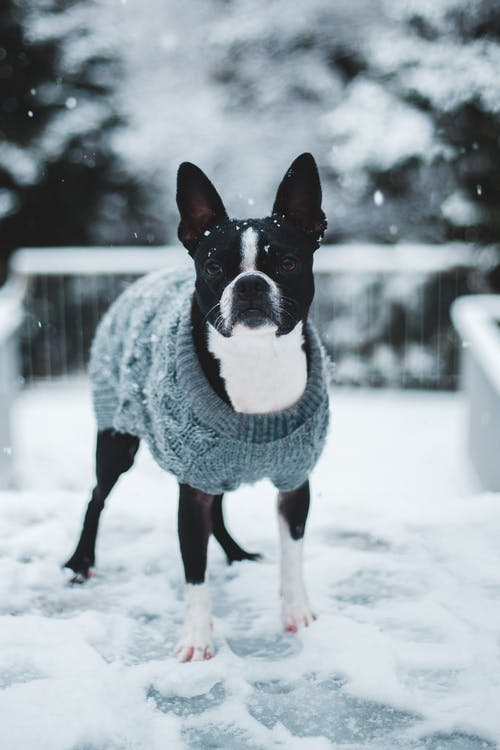 Black and White Short Coated Dog on Snow Covered Ground