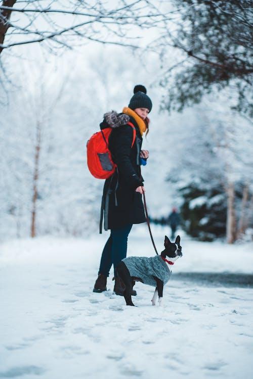 Kostenloses Stock Foto zu aktiv, boston-terrier, draußen