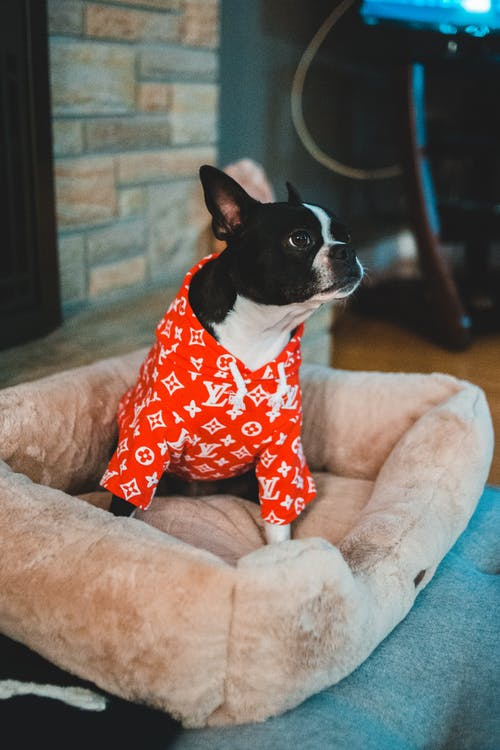 Adorable bulldog in bright overalls sitting in dog bed