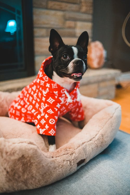 French bulldog in bright clothes resting on dog bed at home