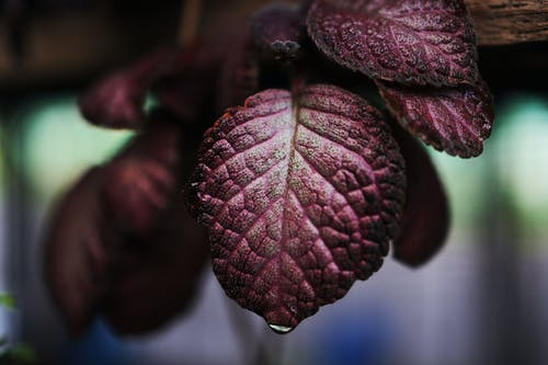 Purple Leaf Plant in Close Up Photography