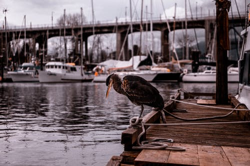 Waterbird Perched on Brown Wooden Dock