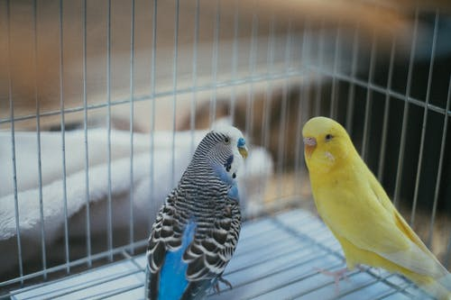 Yellow and Blue Birds Inside A Cage