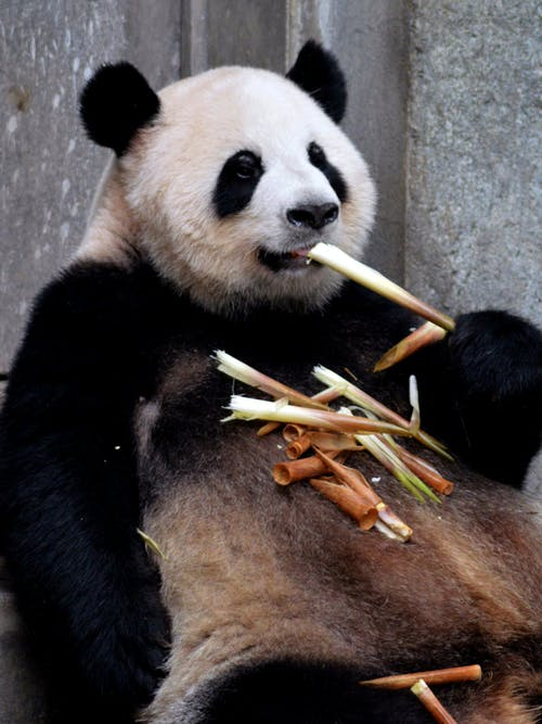 Panda Eating Green and Brown Leaves