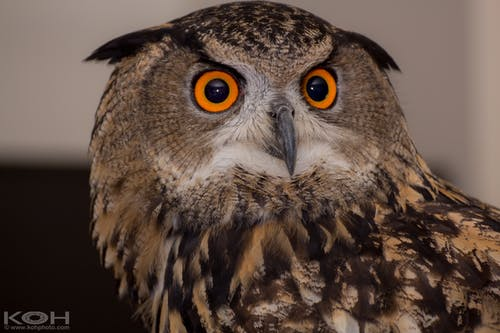 Free stock photo of eyes, nocturnal, owl