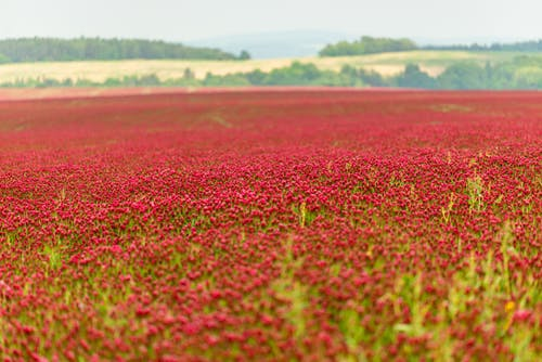 Photo of Red Flower Field