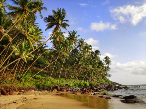 Green Coconut Trees Near Sea