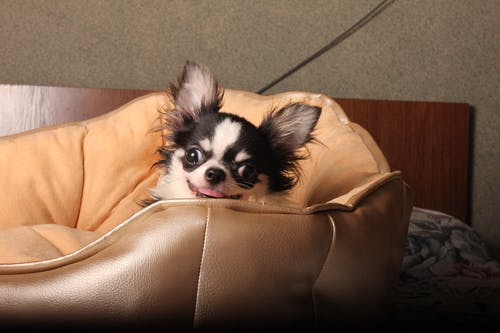 Photo of Black Chihuahua on Brown Leather Couch