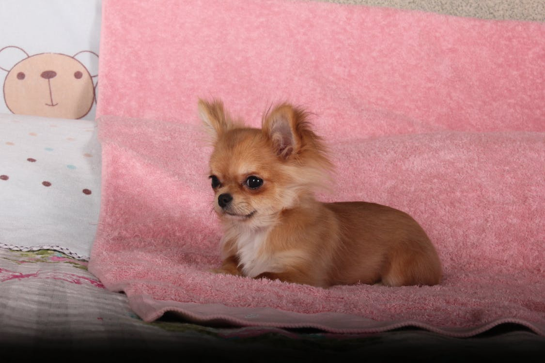 Brown Chihuahua on Pink Textile
